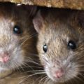 Rodent-Control-Sydney-Dylan-Cope-Pest-Control
